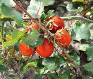 Сорта томатов  для открытого грунта список