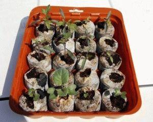 Торфяные таблетки для рассады, как сажать и выращивать в них