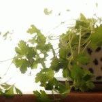 Огород на подоконнике – способы домашнего выращивания зелени