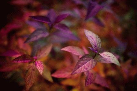 Autumn Spiraea Rainbow