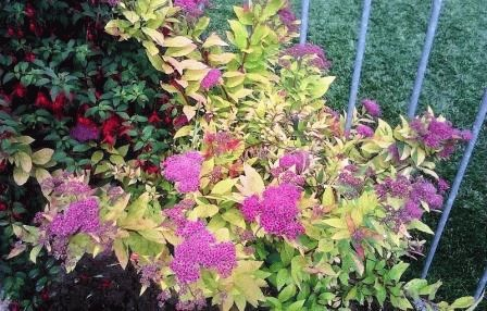 Golden Spiraea