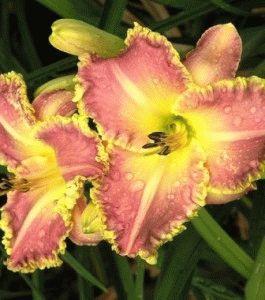 Hemerocallis Light Years Away лилейник сорт фото описание
