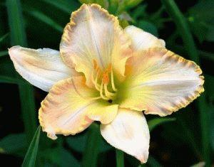 Hemerocallis Moonlit Caress лилейник сорт фото описание