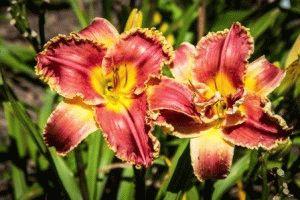 Hemerocallis Startle лилейник сорт фото описание