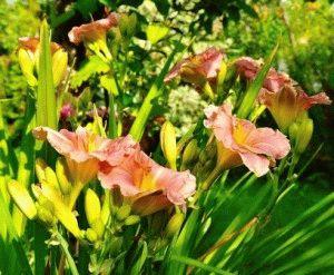 Hemerocallis romantic rose лилейник сорт фото описание
