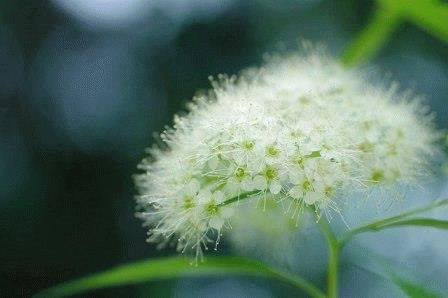 Spiraea japonica  Albiflora фото