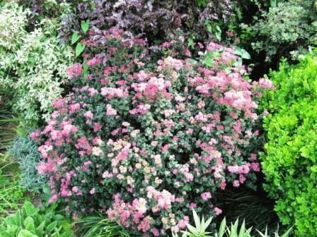 Spiraea japonica Bullata