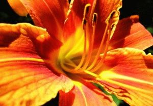 Tiger Lily Hemerocallis лилейник сорт фото описание
