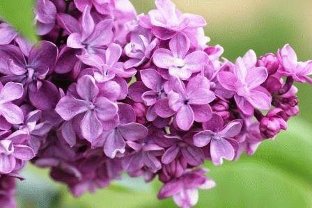 Violetta сорт сирени фото