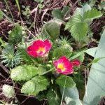 Примула - выращивание из семян, мастер класс