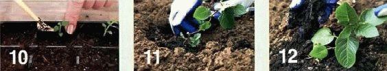 как вырастить рассады картофеля