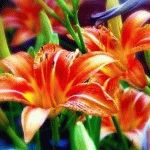Лилейники – сорта, фото, виды. Описание лучших цветов
