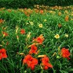 Лилейники в дизайне сада: яркие ландшафтные пятна