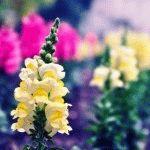 Львиный Зев (Атирринум) – фото, сорта и описание цветов
