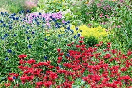 Цветы Монарда в ландшафтном дизайне фото