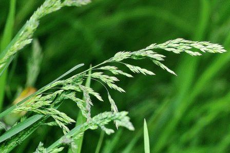 Мятлик луговой газонная трава фото