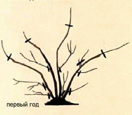 обрезка спиреи первый год рисунок