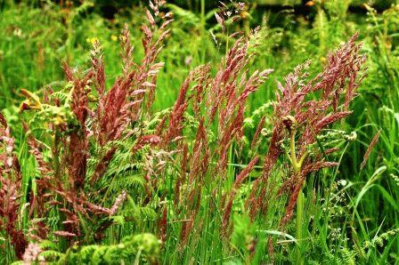 овсяница красная газонная трава фото
