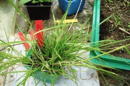 овсяница луговая газонная трава фото