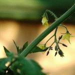 Пасынкование томатов – правила для низкорослых и высокорослых растений