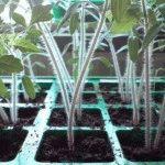 Пикировка рассады томатов из кассет и общей тары