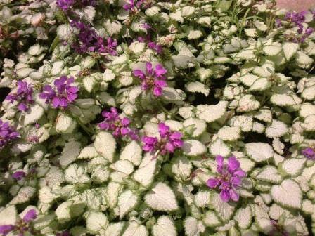 растение яснотка фото