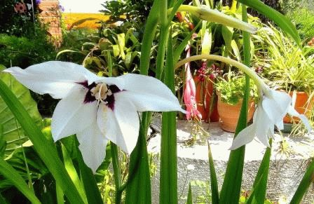 Ациндатера двуцветная – посадка, уход, фото цветка