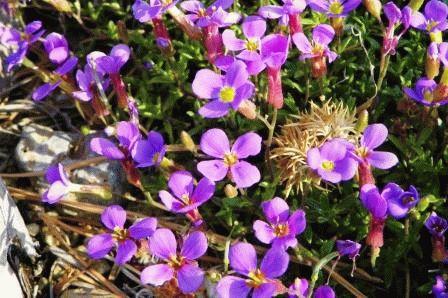 Aubrieta gracilis фото