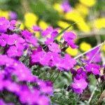 Обриета – почвопокровный многолетник, описание, сорта, фото