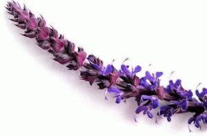 шалфей цветы фото