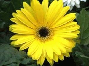 гербера выращивание из семян фото