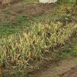 Плохой урожай (картофеля, моркови, лука) – работа над ошибками