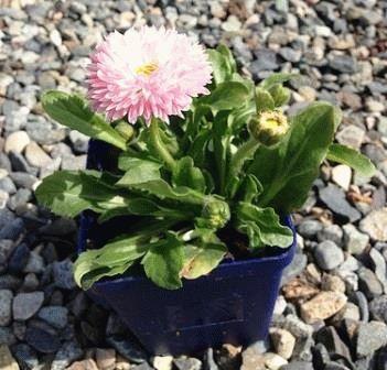 Bellis Robella Маргаритка садовая сорта и фото цветов