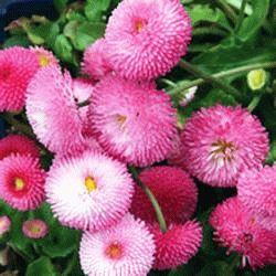 Tasso Pink маргаритка фото