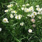 Маргаритки выращивание в саду фото