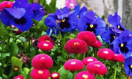 Маргаритки и анютины глазки в саду фото
