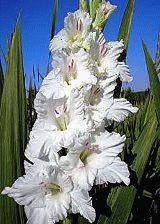 белый гладиолус Дивинити фото