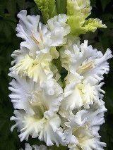 белый гладиолус Снегурочка фото