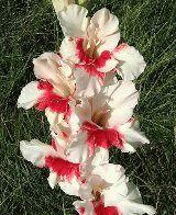 белый гладиолус Весточка фото