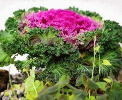 декоративная капуста Нагоя фото