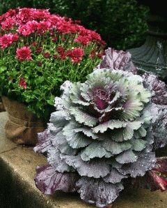 декоративная капуста выращивание и уход