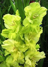 зеленый гладиолус сорт Наш сад фото