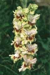 зеленый гладиолус сорт Черри лайм фото
