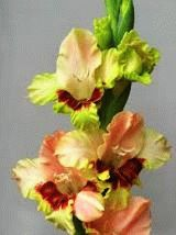 зеленый гладиолус сорт Гирступис фото