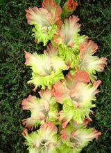 зеленый гладиолус сорт Перо павлина II фото