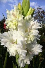 белый гладиолус Корнет фото