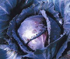 краснокочанная капуста сорт регилиус фото
