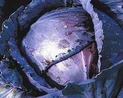 краснокочанная капуста сорт рубин фото