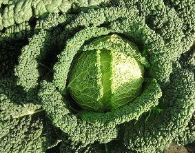 савойская капуста сорт сфера ф1 фото