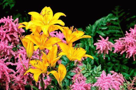 астильба в саду фото